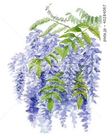 水彩で描いた藤の花 40284067