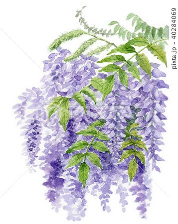 水彩で描いた藤の花 40284069