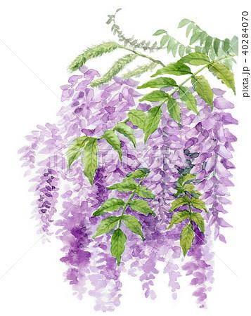 水彩で描いた藤の花 40284070
