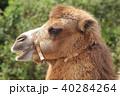 ラクダ 動物 フタコブラクダの写真 40284264