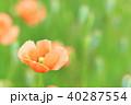 ヒナゲシ ナガミヒナゲシ 花の写真 40287554