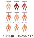 人体 解剖学 骨格のイラスト 40290747