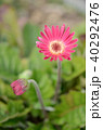 植物 花 ガーベラの写真 40292476
