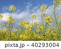 菜の花 菜の花畑 花畑の写真 40293004