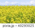 菜の花 菜の花畑 花畑の写真 40293025