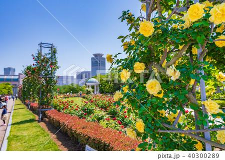 日本の春 横須賀ヴェルニー公園のバラ園 40300289
