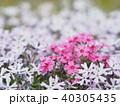 シバザクラ 花 植物の写真 40305435