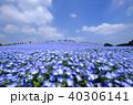 ネモフィラ 花畑 ひたち海浜公園の写真 40306141