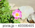 植物 花 シャクヤクの写真 40306405