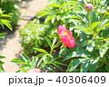 植物 花 シャクヤクの写真 40306409