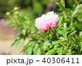 植物 花 シャクヤクの写真 40306411