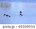 鳥 水鳥 野鳥の写真 40309554