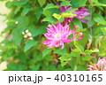 植物 花 クレマチスの写真 40310165