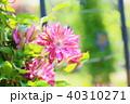 植物 花 クレマチスの写真 40310271