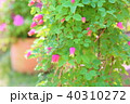 植物 花 クレマチスの写真 40310272