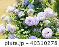 植物 花 クレマチスの写真 40310278