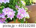植物 花 クレマチスの写真 40310280
