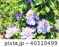 植物 花 クレマチスの写真 40310499