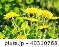 セイヨウタンポポ 花 春の写真 40310768