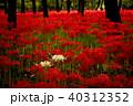 彼岸花 曼珠沙華 花の写真 40312352