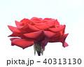 薔薇 バラ 植物の写真 40313130