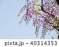 藤 花 藤棚の写真 40314353