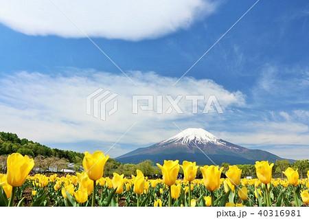 富士山と満開のチューリップ畑 40316981