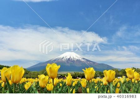 富士山と満開のチューリップ畑 40316983