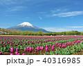 富士山 青空 チューリップの写真 40316985