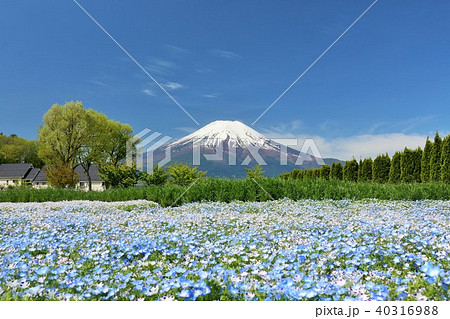 富士山と満開のネモフィラ畑 40316988