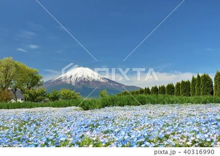 富士山と満開のネモフィラ畑 40316990