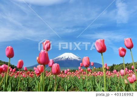 富士山と満開のチューリップ畑 40316992