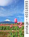 富士山 青空 チューリップの写真 40316993