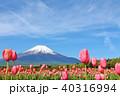 富士山 青空 チューリップの写真 40316994