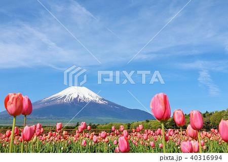富士山と満開のチューリップ畑 40316994