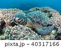 アオウミガメ 40317166