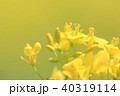 春 花 菜の花の写真 40319114
