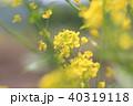 春 花 菜の花の写真 40319118