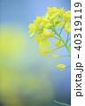 春 花 菜の花の写真 40319119