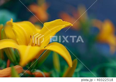 黄色いアマリリス 40322518