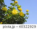 バラ 黄色 植物の写真 40322929
