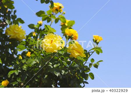 青空と黄色いバラ 40322929