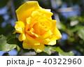 バラ 黄色 植物の写真 40322960