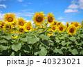 ヒマワリ 青空 花の写真 40323021
