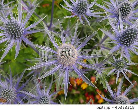 紫のトゲの花 40323219