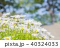 マーガレット 植物 花の写真 40324033