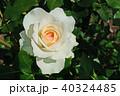 花 バラ 薔薇の写真 40324485