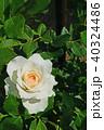 花 バラ 薔薇の写真 40324486