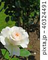 花 バラ 薔薇の写真 40324491