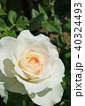 花 バラ 薔薇の写真 40324493